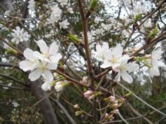 大井埠頭の桜