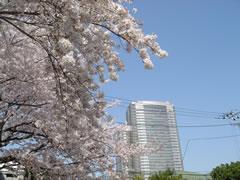 茶屋坂近くの名も無き公園の桜