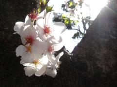 目黒清掃工場脇の公園の桜