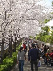 目黒川沿いの桜並木の賑わい
