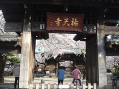 祐天寺の桜