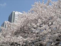 ガーデンプレイス近くの路地の桜