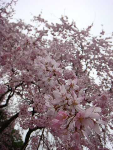 早雲寺 しだれ桜