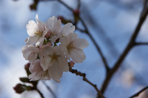 大濠公園 桜